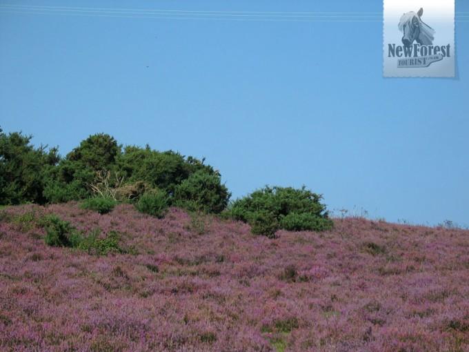 Heath and Gorse near Longslade Bottom