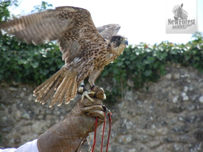 Falconry at Beaulieu Abbey