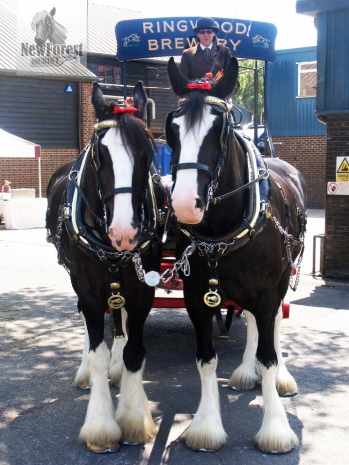 The magnificent Ringwood Brewery dray horses